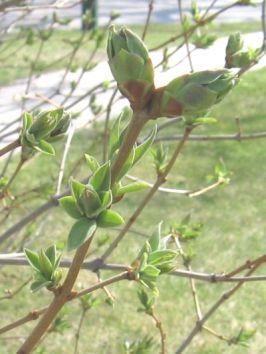 springbuds08t.jpg