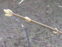 springbuds15t.jpg