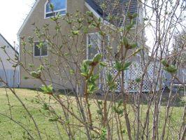 springbuds24t.jpg