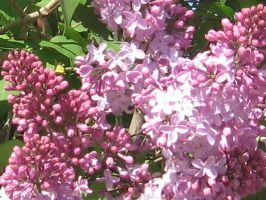 lilac2t.jpg