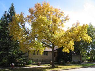 yellowtree